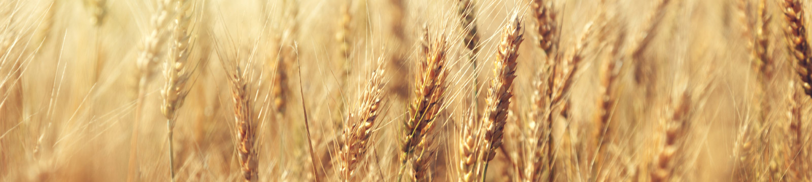 Close up of grain field